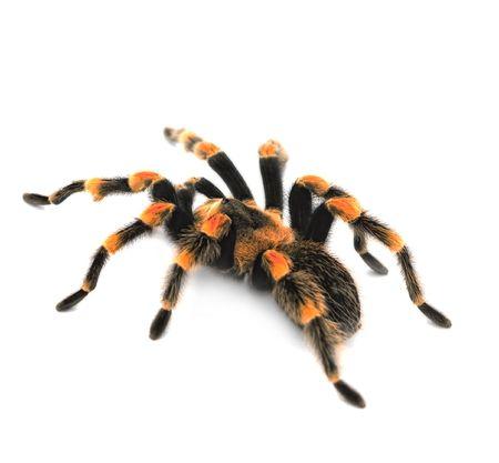 hairy legs: Huge bird eating spider