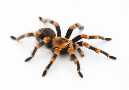 tarantula: Red Knee Tarantula - bird eating spider