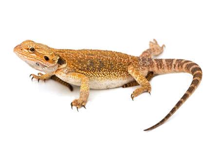 lizard: Lagarto - aislado en fondo blanco y sostenido Foto de archivo
