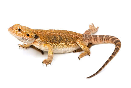 Lizard - isolated on white background and sharp photo