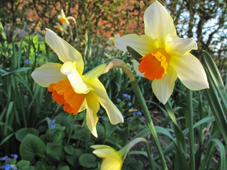 Spring flowers - narcissus photo