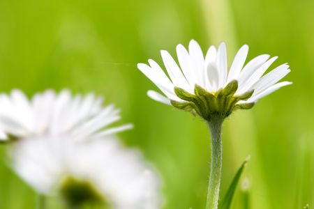 Telephoto of white daisies and green grass photo