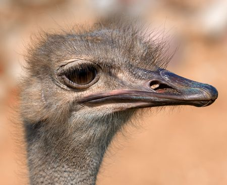 inquiring: funny ostrich - extremely sharp and detailed