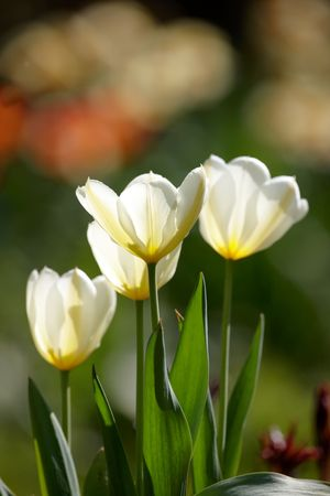 Beautiful spring tulips - flowers photo