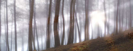 Early morning fog in the forest at sunrise photo