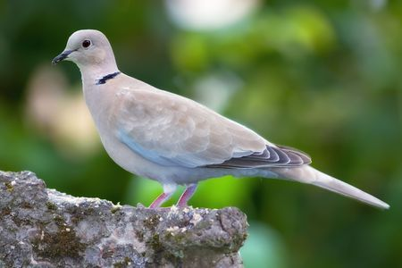 turtle dove: Lovely turtle dove - elegant and beautiful