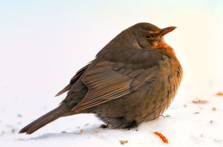 Blackbird eating apples in wintertime in the garden photo