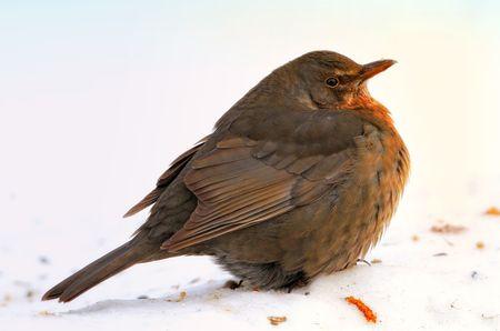 Blackbird eating apples in wintertime in the garden Stock Photo - 6335102