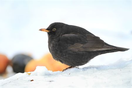Beautiful blackbird - very sharp and detailed photo