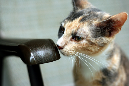 calico: Calico kitten smelling a chair Stock Photo