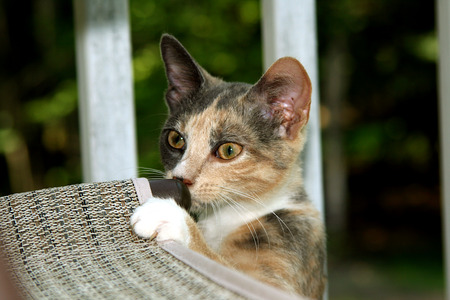 calico: Calico kitten being curious and mishievious Stock Photo