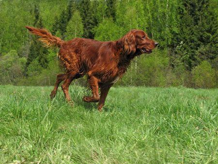 Running setter Stock Photo
