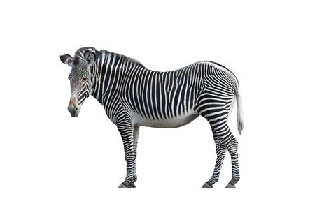 An isolated photo of a zebra on white background Stock Photo - 2734341