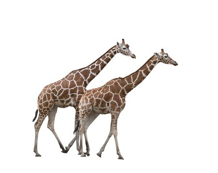 Two walking giraffes isolated on white background photo