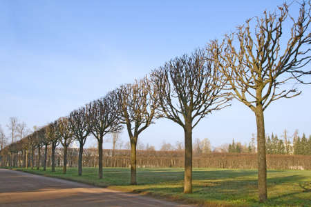 A line of bare trimmed trees in the park