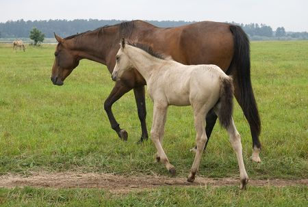 A pasturing brown horse and a white foal Stock Photo - 3759082