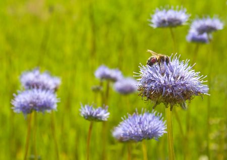 A bee sitting on a blue flower photo