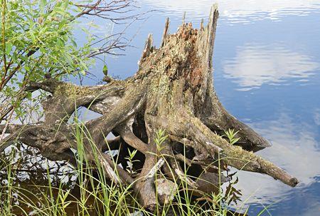 snag: Snag on a river coast, Karelia, Russia