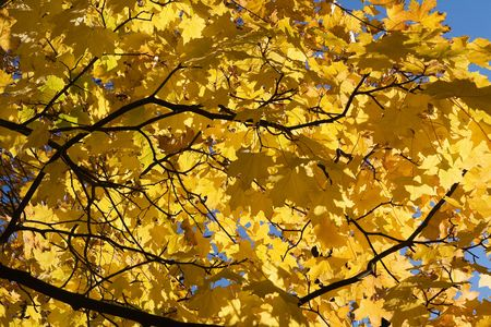 Yellow maple leaves against blue sky photo