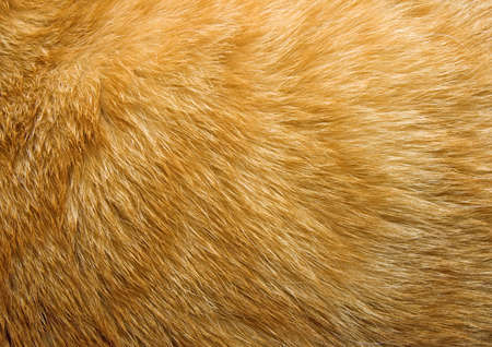 ginger hair: Close-up of ginger cat fur for texture or background