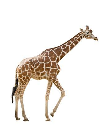 giraffe white background: Foto de una jirafa aislado m�s de blanco