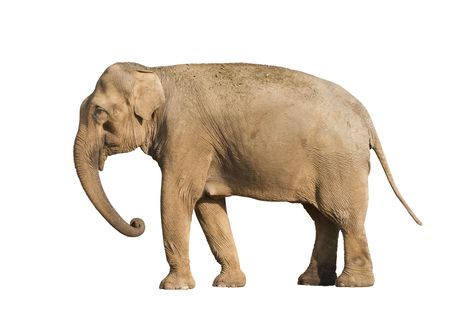 Standing brown elephant isolated over white background Stock Photo - 5529181