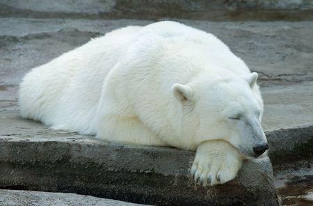 Sleeping polar bear in the Moscow Zoo   Stock Photo