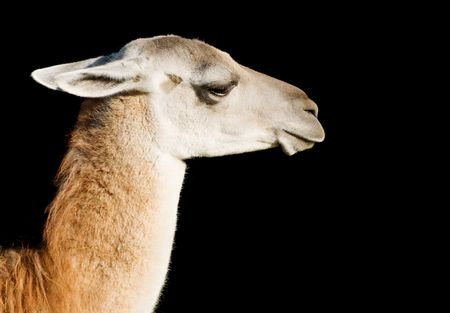 Head and neck of a llama over black background Stock Photo - 5638031