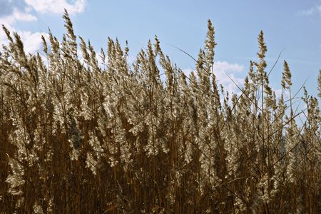 Panicles of dry grass in the backlight with blue sky photo