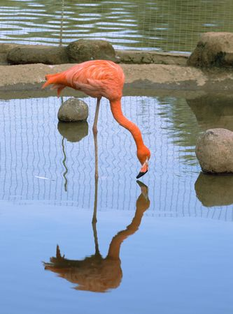 aviary: Red flamingo standing in water, Moscow zoo Stock Photo