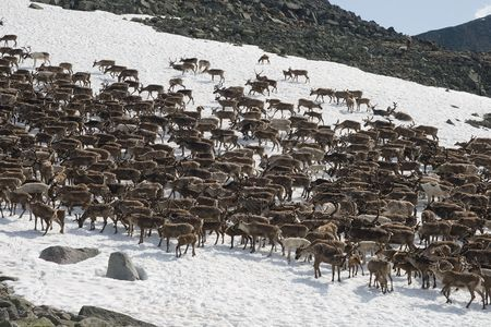 Herd of reindeers pasturing on a snow patch in Ural mountains photo