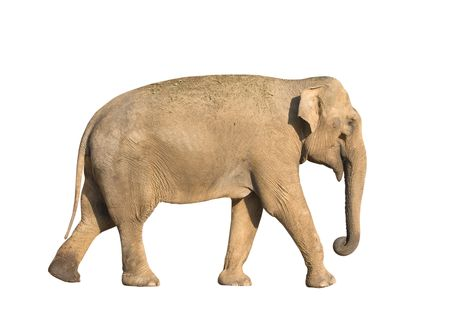 pachyderm: Standing brown elephant isolated over white background