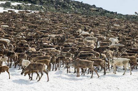 reindeer: Allevamento di renne al pascolo su una patch di neve in Urali