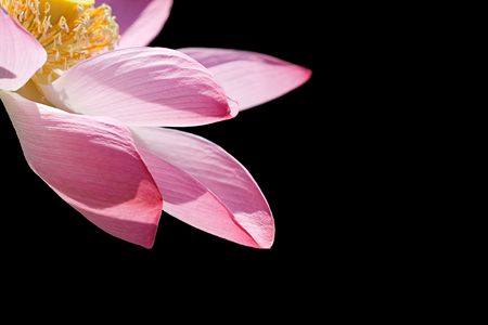 Close-up of a lotus flower over black background Stock Photo - 6079657