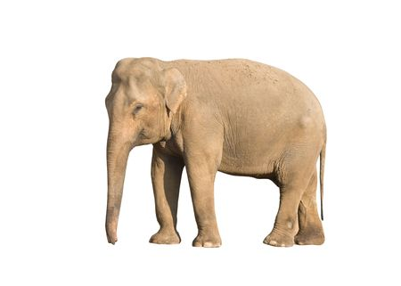 Standing brown elephant isolated over white background Stock Photo - 6315292
