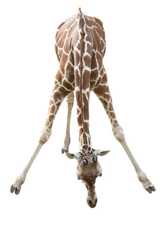 isolated spot: Photo of a giraffe isolated over white