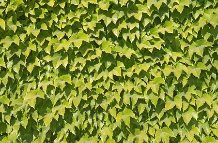 Close-up of ivy covering a wall, background photo