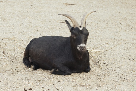 Black he-goat sitting on the ground in a zoo Stock Photo - 10833235