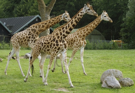 Three giraffes in a zoo staring curiously at something