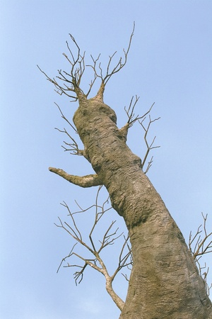 Baobab tree against blue sky, view from below photo
