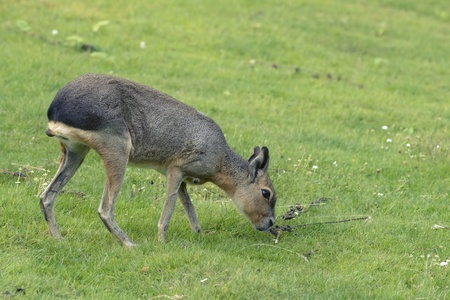 Mara pasturing on a green grass lawn Stock Photo - 11029553