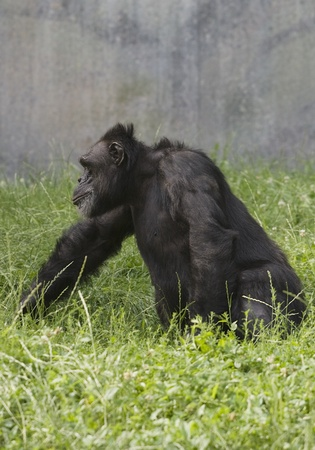 Adult black gorilla walking on grass in a zoo Stock Photo - 11595796