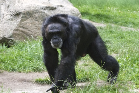 Adult black gorilla walking on grass in a zoo Stock Photo - 11859145