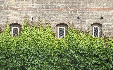 clinging: Wall of a house with windows covered with ivy  Stock Photo
