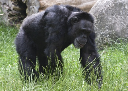 Adult black gorilla walking on grass in a zoo