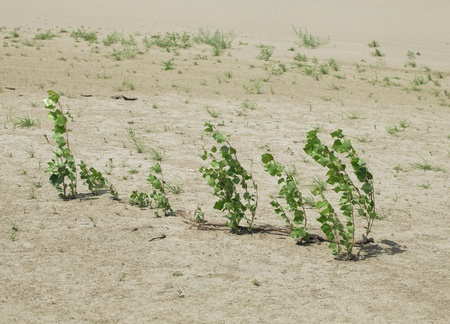 Plants growing in the sand adapted to the hot climate photo