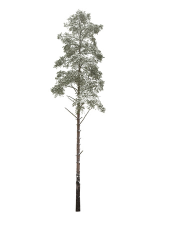 pinetree: Bare pine-tree isolated over white