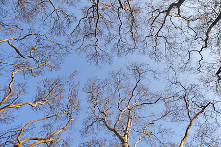 Branches of trees against blue sky, view from below Stock Photo
