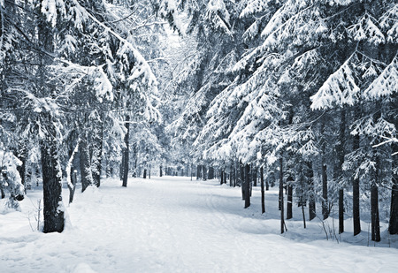 frozen trees: A path between trees covered with snow