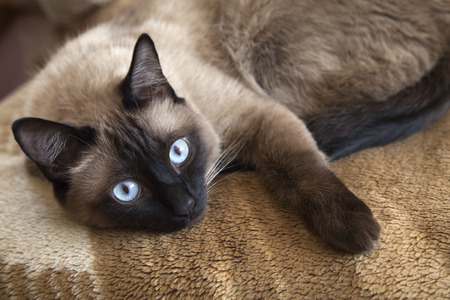 Siamese cat laying on a blanket, close-up photo